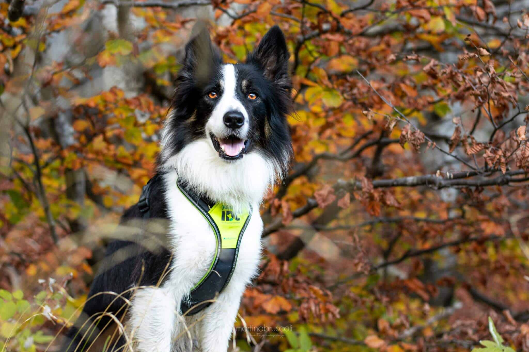 Julius k9 long walk harness